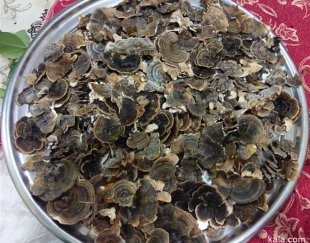فروش قارچ دم بوقلمونی،،ترکی تیل و گانودرما شاخ گوزنی یا قهوه