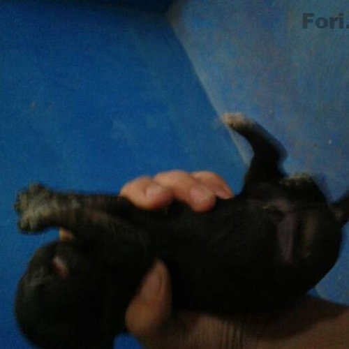 سگ شیتزو تریر پشمالو