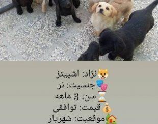 سگ پاکوتاه اشپیز