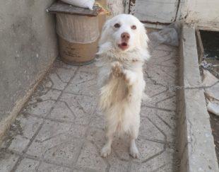 سگ پاپی نَر سفید