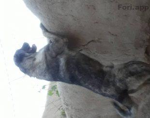 سگ عراقی