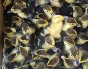 جوجه اردک اسرائیلی