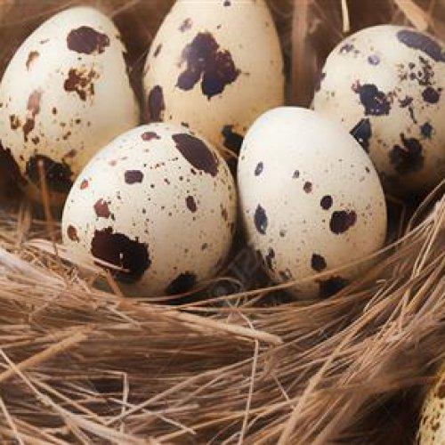 فروش ویژه تخم نطفه دار و خوراکی بلدرچین