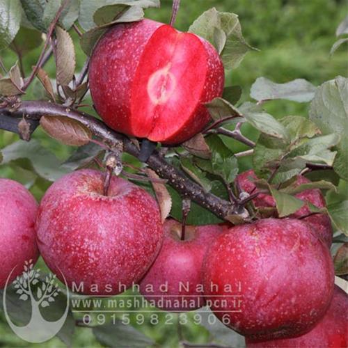 فروش نهال سیب توسرخ