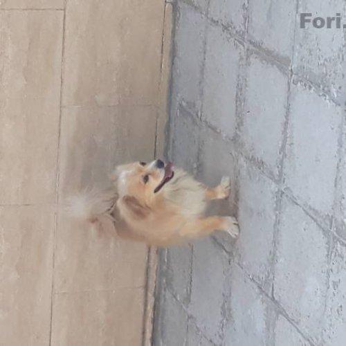 سگ خانگی میکس پامر و اشپیتز