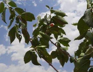 باغچه با درختان  پر میوه