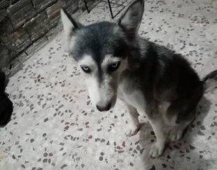 سگ توله هاسکی