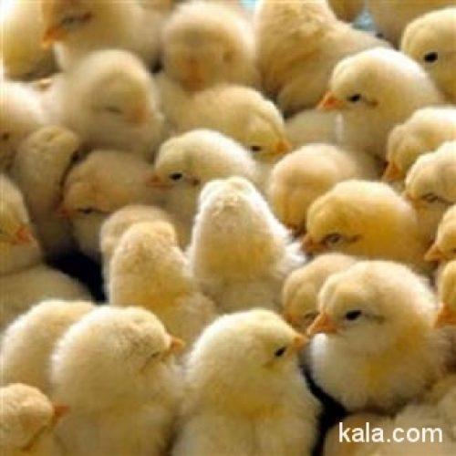 فروش جوجه اردک اصل ورامین و جوجه یک روزه رسمی گلپایگان
