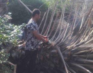 قطع نخل ودرختان مزاحم رایگان درکل استان