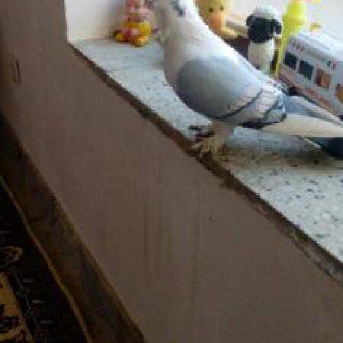 کبوتر ساتن فروش و معاوضه