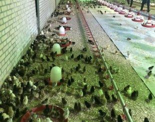 فروش جوجه یک روزه اصلاح نژاد شده گلپایگانی
