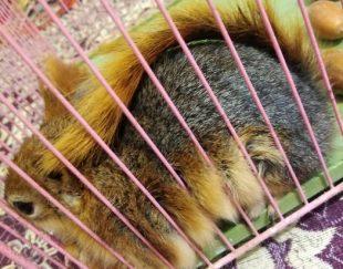 یک جفت سنجاب