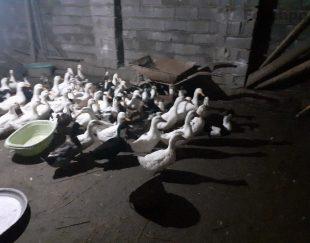 فروش ۵۰ عدد اردک بالغ دم تخم کاملا سالم
