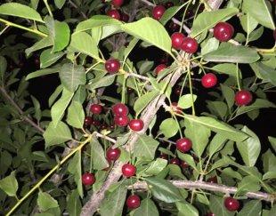 باغی زیبا با درختان مثمر در آبسرد-کیلان