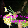فروش پیاز گل نرگس شیراز