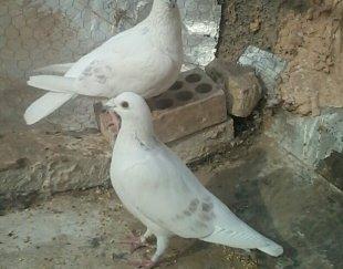 کبوتر جفتی جفت گاه((سفید دوخط))