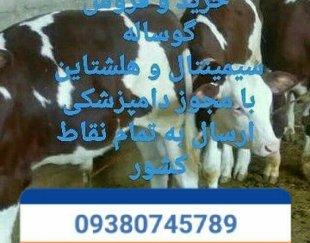 مرکزفروش انواع گوساله پرواری