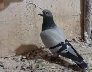 کبوتر پلاکی ماده
