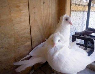 دو عدد جوجه کبوتر هلندی بسیار زیبا