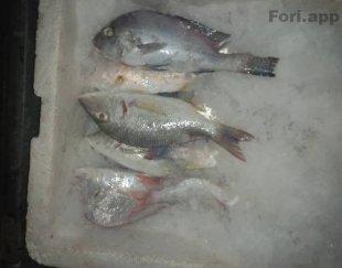 ماهی میگو تازه
