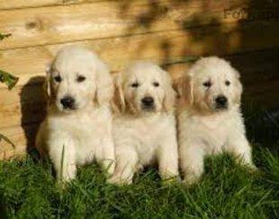 فروش سگ گلدن رتریور ، خرید سگ گلدن رتریور اصیل