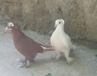 کبوتر پاپر