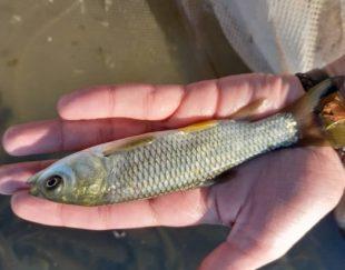 ماهی کپور آمور فیتوفاک بیگ هد