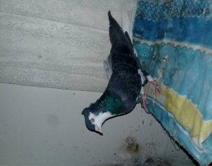 سه عدد کبوتر دوتا نر ویه ماده