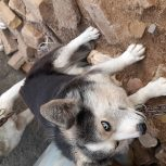 سگ هاسکی پاکوتا کم یاب ترین سگ جهان