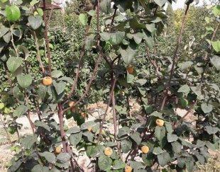 باغ ۱۲۰۰ متری واقع در دنارت با درختان مثمر