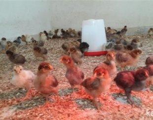 تخمه مرغ نط�ه دار و جوجه مرغ بومی