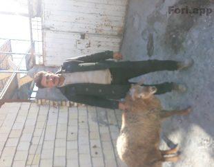 قصاب در محل .فروش گوسفند