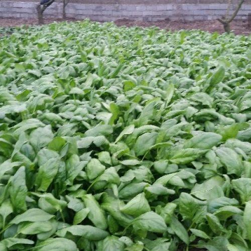 فروش سبزیجات  ارگانیک