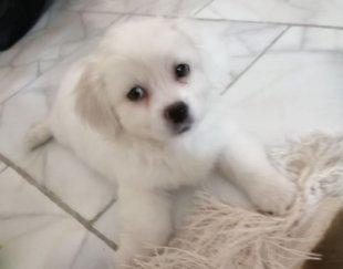 توله سگ شیتزو پاکوتاه