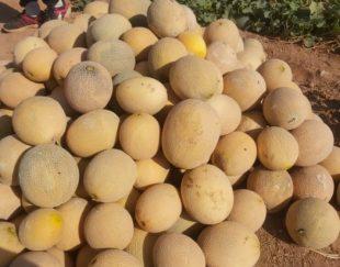 هندوانه درجه یک برای فروش خوزستان از تهران به تمام کشور ایران