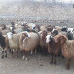 ۶۵راس گوسفندشیشک جوان