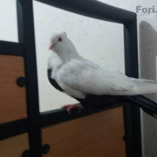 یک جفت کبوتر دمبی یا دم سیاه کارداده به شرط