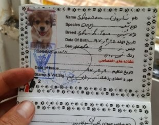 سگ شیتزو خونگی